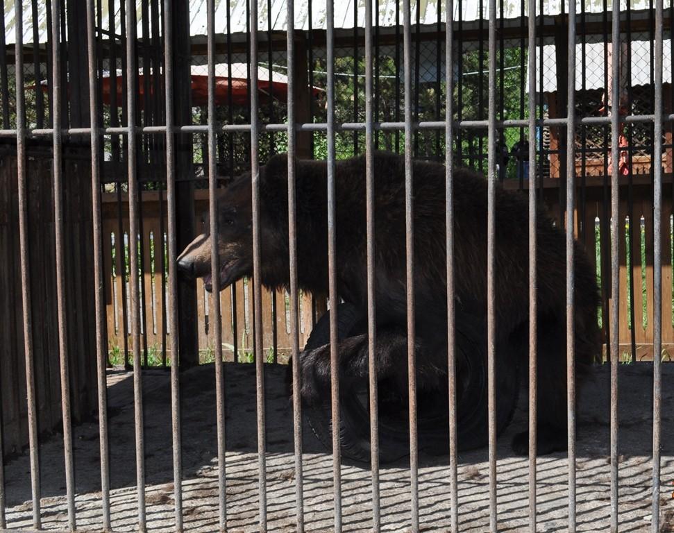 Картинка медведь в клетке