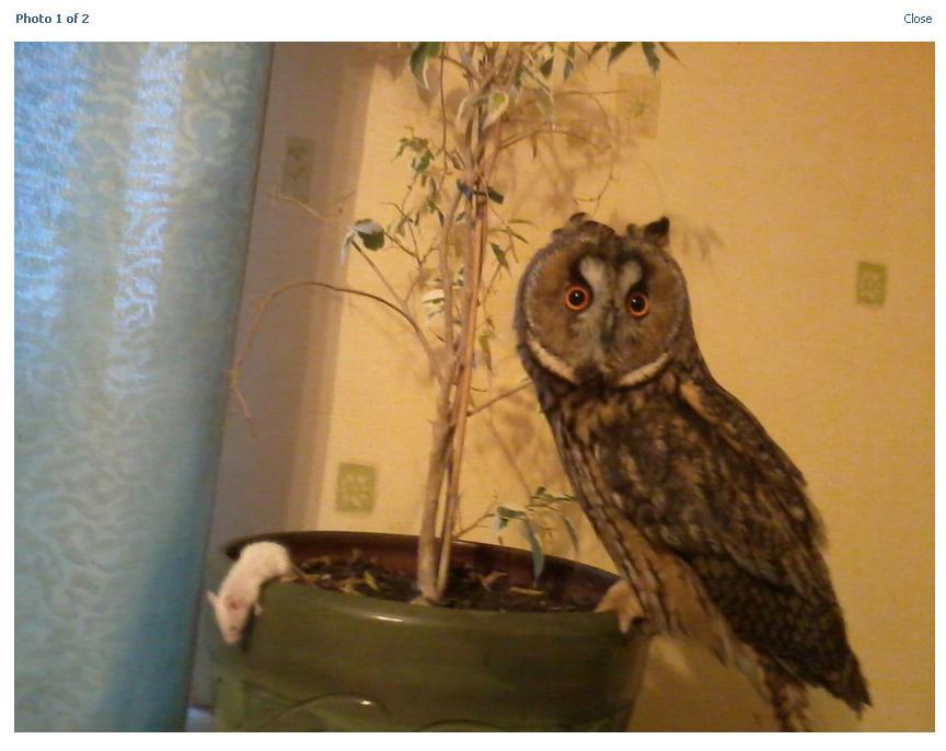 Чем кормить совёнка в домашних условиях 846